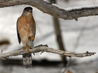 buteo red shouldered hawk