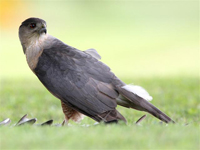 acipter sharp shinned hawk