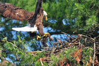 Adult eagle bringing food to nest