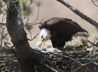 adult eagle feedling young