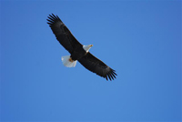 adult eagle in flight