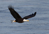 eagle flying over water with fish