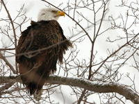 adult eagle in winter