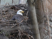 adult eagle incubating eggs