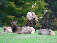 bull elk with herem of females in fall