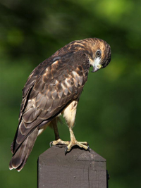 board winged hawk