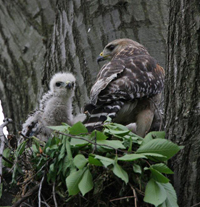 red shouldered hawk and young