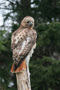 red tailed hawk on pole