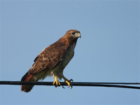 red tailed hawk on wire