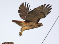 red tailed hawk taking off