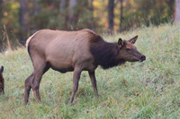 cow elk eating grasses in fall