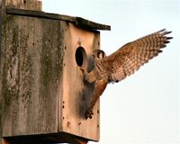 american kestral at nesting box