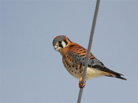 american kestrel on wire