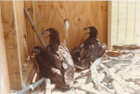 historical phot of eaglets in hack box