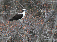 osprey on tree