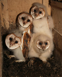 barn owl adult in nest