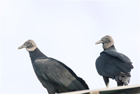 adult black vulture