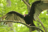 adult turkey vulture in tree