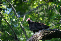 turkey vulture in tree