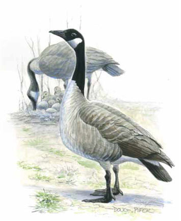 Canda Goose Illustration