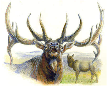 Elk Illustration 1