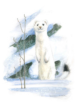 Ermine illustration