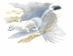 Longtail Wessel in Winter illustration