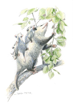 Opossum illustration 3