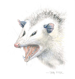 Opossum illustration 1