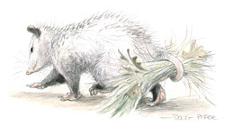 Opossum illustration 4