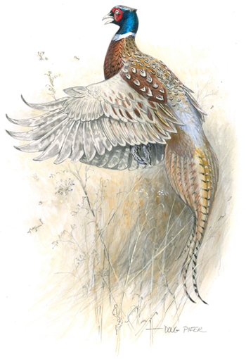 Ring-necked Pheasant Illustration 1