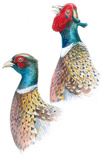 Ring-necked Pheasant Illustration 3