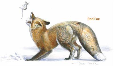 Foxes Wildlife Note