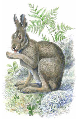 Snowshoe Hare Illustration 2