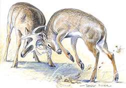 White-tailed Deer Illustration 1