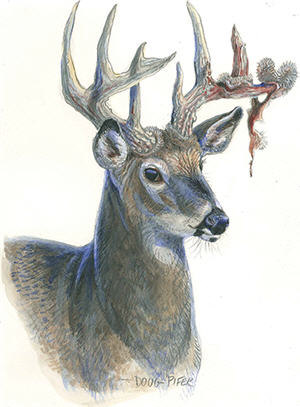 White-tailed Deer Illustration 3