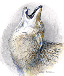 Eastern Coyote Illustration 1