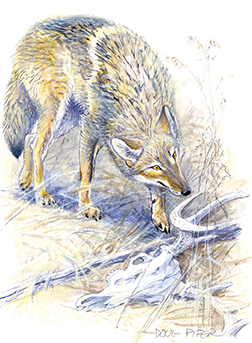 Eastern Coyote Illustration 2