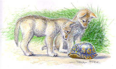 Eastern Coyote Illustration 3