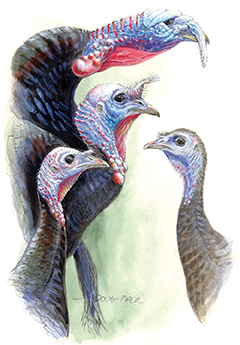 Wild Turkey Illustration 1
