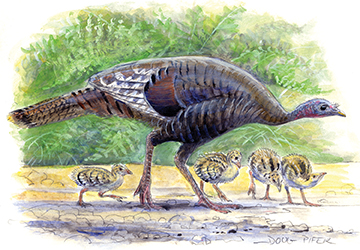 Wild Turkey Illustration 2