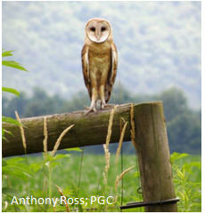 Barn Owl Conservation Initiative