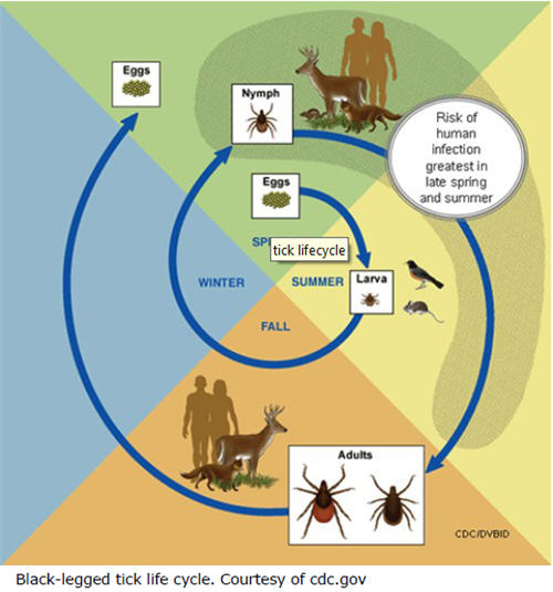 Black-legged tick life cycle