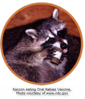 Raccon eating oral rabies vaccine