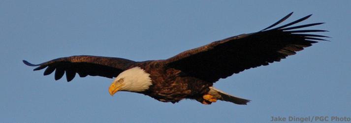 Bald Eagle Watching