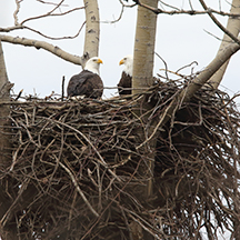 Bald Eagle Nest Survey