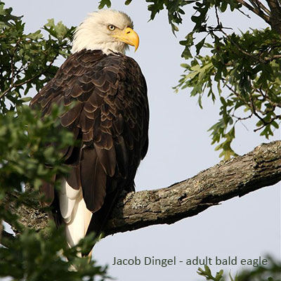 Bald Eagle Identification Tips