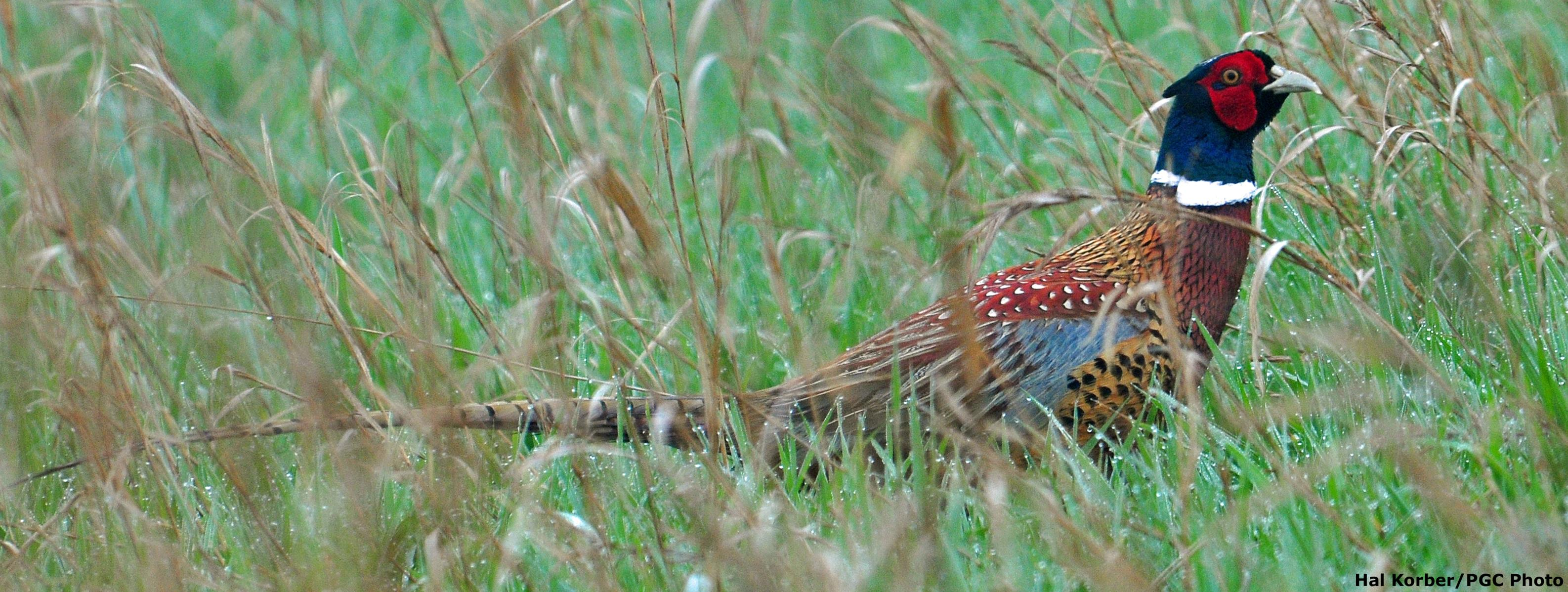 Wild Pheasant Recovery Areas