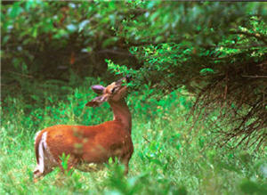 Deer-Habitat Relationships